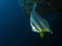 Batfish